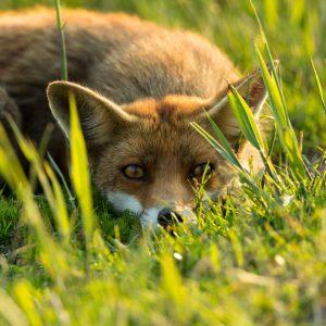 Close-up van een vos in het gras